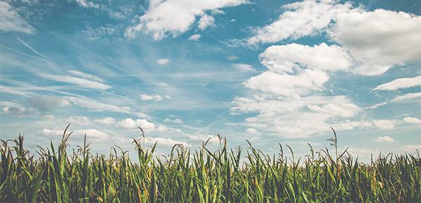cloudy sky over a corn field